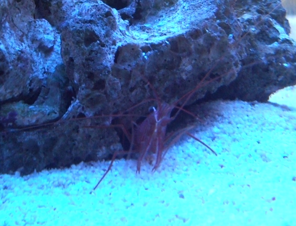 Peppermint Shrimp 2