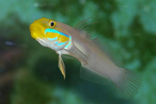 Blue Cheek Goby