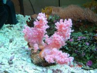 Pink soft coral