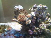 Branching Hammer Coral