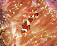Clown in anemone