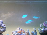 Blue / Green Chromis