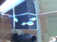 Blue / Green Chromis 2